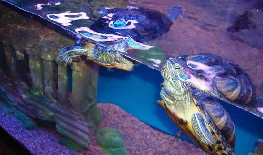 Красноухие черепахи сколько могут без воды