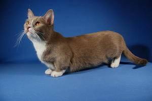 Котик с короткими лапками