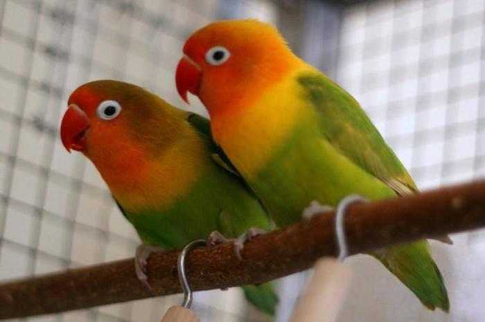 Виды средних попугаев