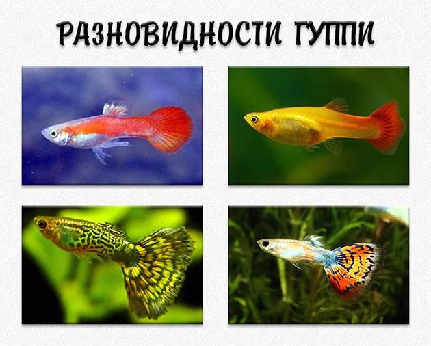 сколько лет живет рыбка гуппи