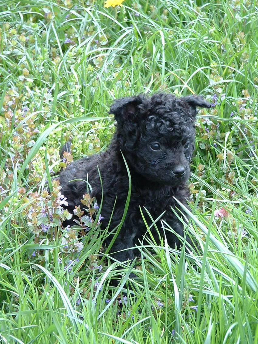 щенки собаки породы хорватская овчарка
