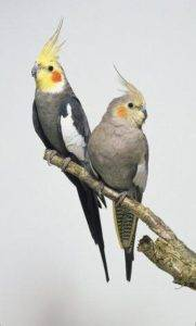 Корелла самка или самец