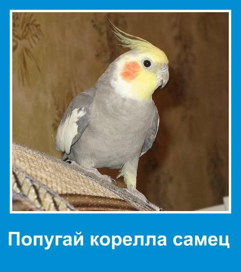 Пол попугая корелла
