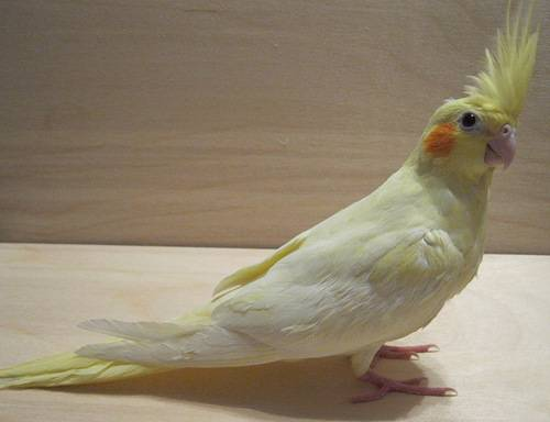 Лютино попугай корелла