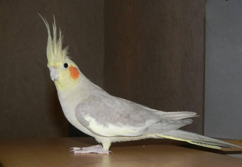 Белокрылый попугай корелла