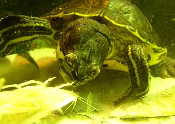 Как часто нужно кормить красноухую черепаху в домашних условиях ... | 483x680