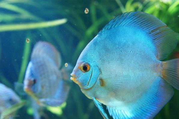 Дискус рыба содержание