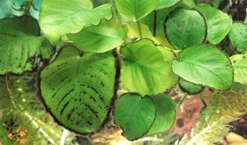 Нитчатые водоросли в аквариуме