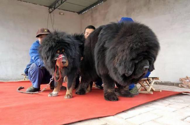Тибетский маламут