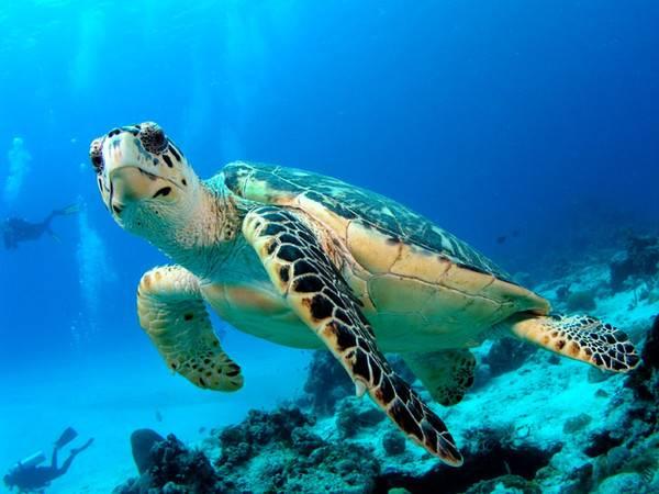 Сколько живут морские черепахи