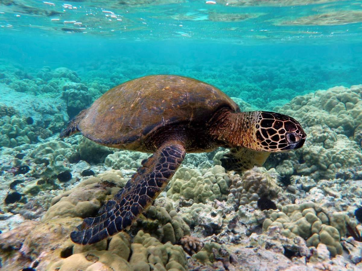 Морские черепахи - крупные рептилии.