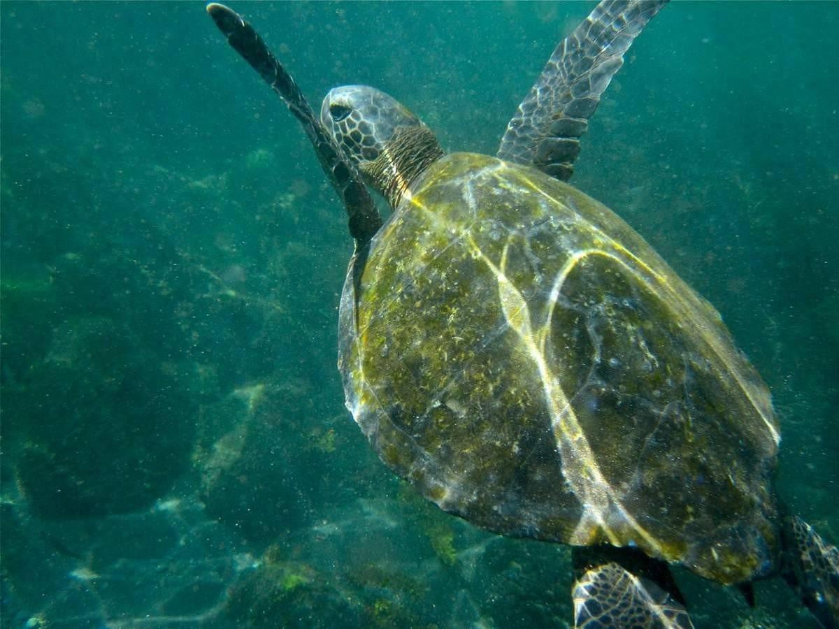 Морские черепахи нещадно истребляются браконьерами.