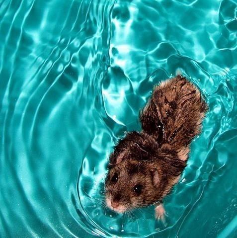 хомячок плавает