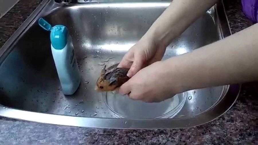 Умеют ли хомяки плавать
