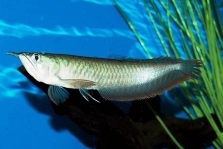 Рыбка арована