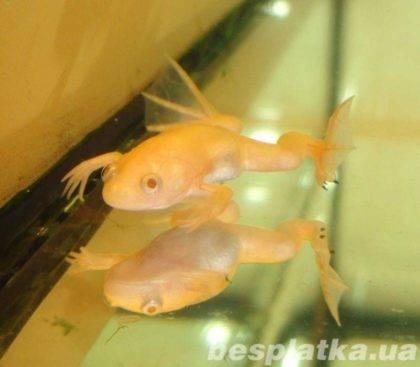 Белая шпорцевая лягушка