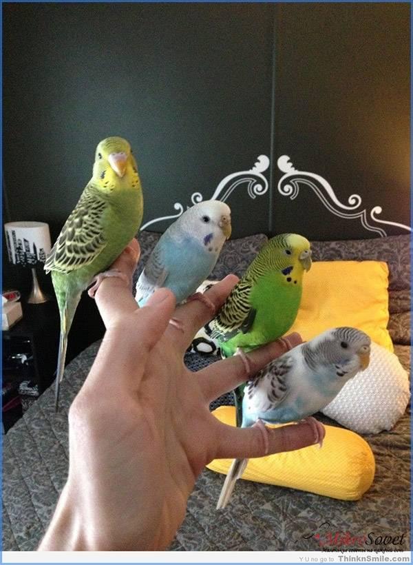 Как содержать волнистого попугая в домашних условиях