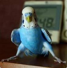 Волнистый попугайчик уход и содержание