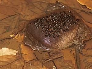 Лягушка пипа