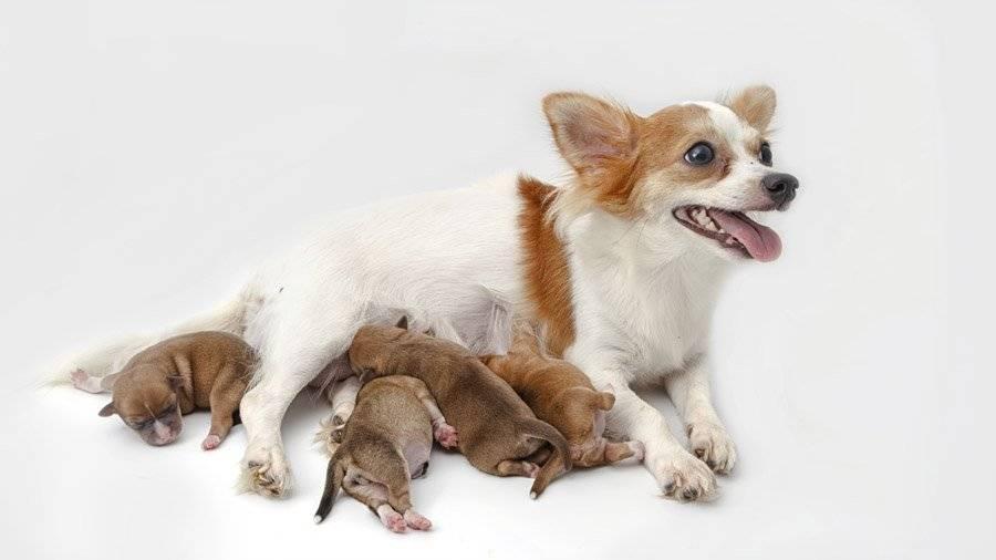 Новорожденные щенки чихуахуа