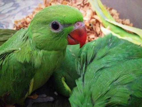 Ожереловый попугай уход и содержание
