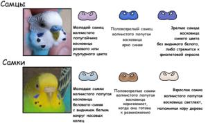 Ожереловый попугай как определить пол