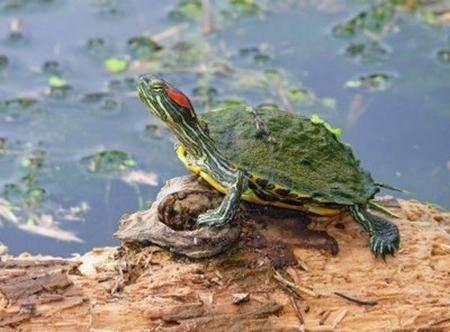 Красноухая черепаха. Разница между фото 8 месяцев. | Пикабу | 332x450