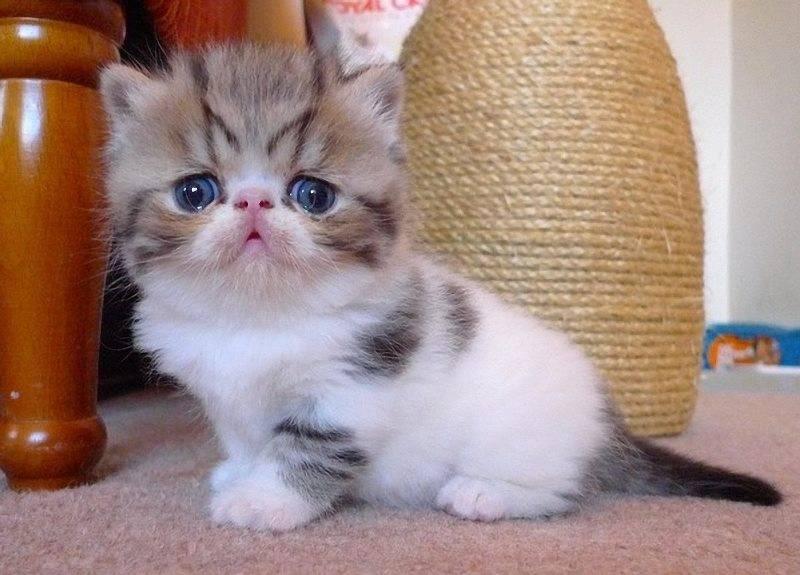котята экзоты плюшевые