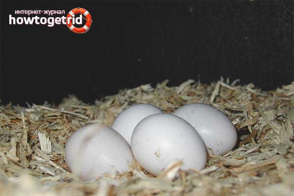 Как спариваются попугаи волнистые в домашних условиях