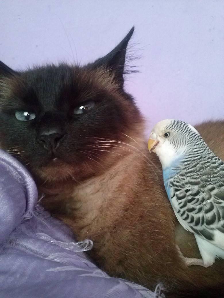 Содержание волнистых попугайчиков в домашних условиях