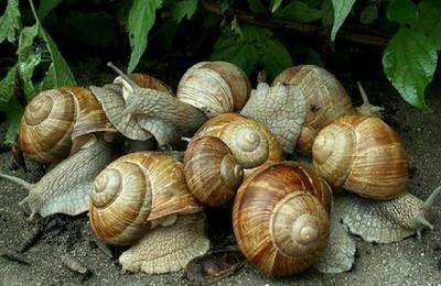 выращивание улиток russia.snails-house.com
