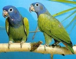 Бразильский попугай
