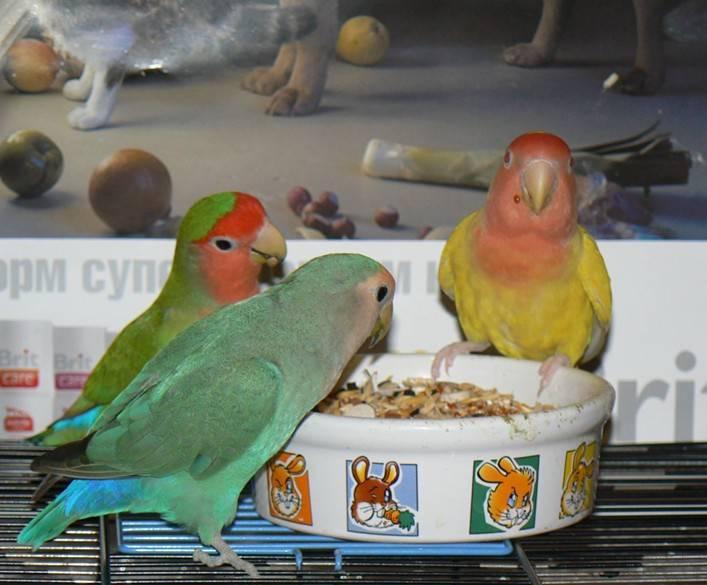 Как мыть попугая неразлучника