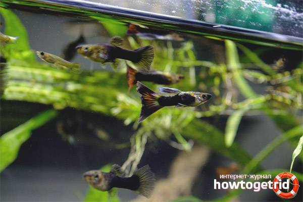 Размножение рыбок гуппи