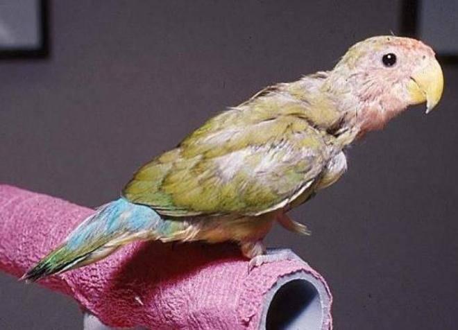 Попугаи неразлучники уход и содержание