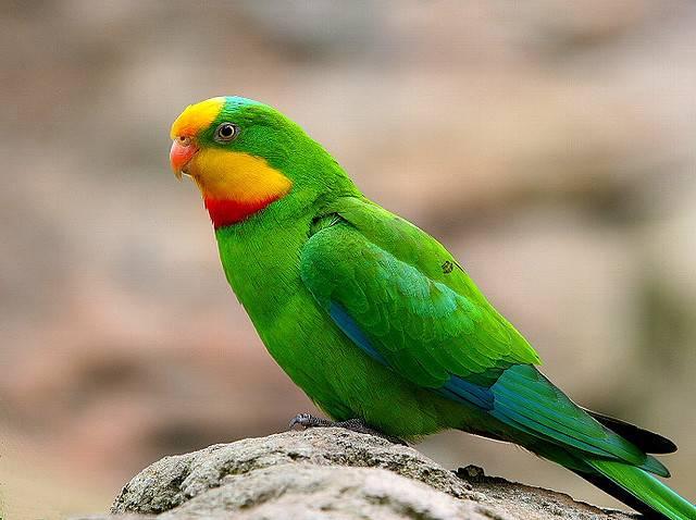 Сколько живет какаду попугай
