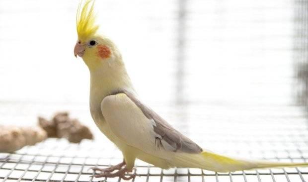 Что едят попугаи кореллы