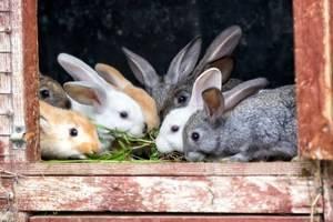 Рождение крольчат
