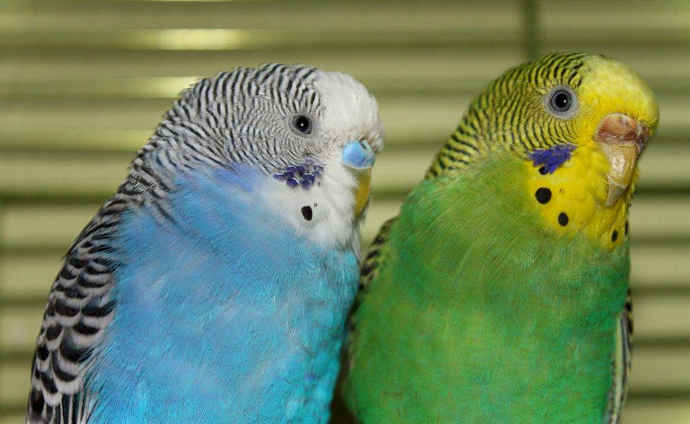 Сколько лет живут волнистые попугаи в клетке