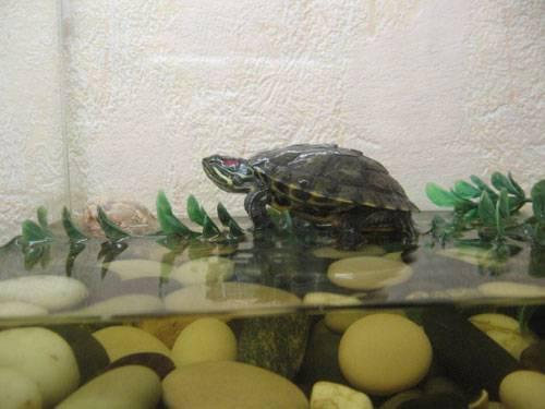 Умеют ли сухопутные черепахи плавать