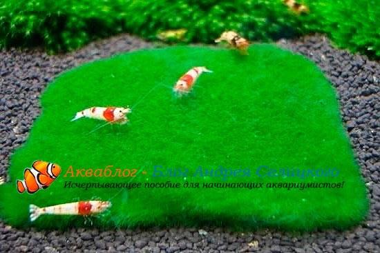 Аквариумный мох шарик
