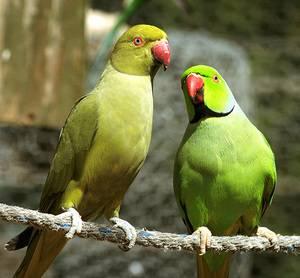 Ожереловый попугай желтый