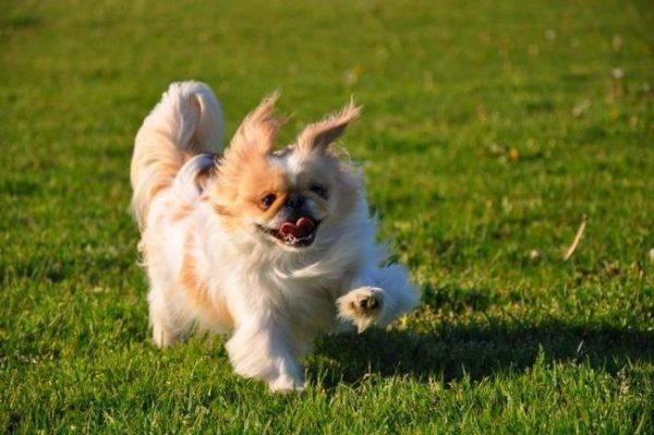 Чем кормить пекинеса щенка