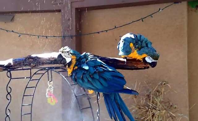 Попугай ара сколько живет