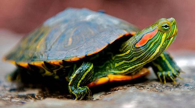 Что ест красноухая черепаха в домашних условиях
