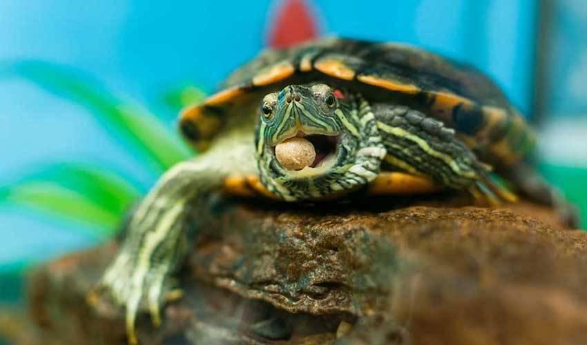 Кормление красноухих черепах