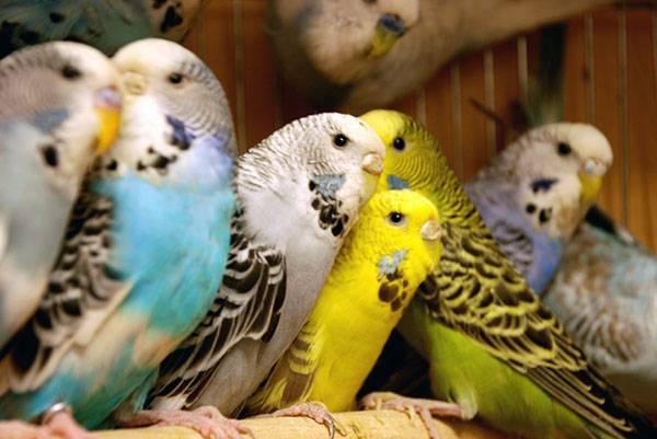 Фотографии волнистых попугаев