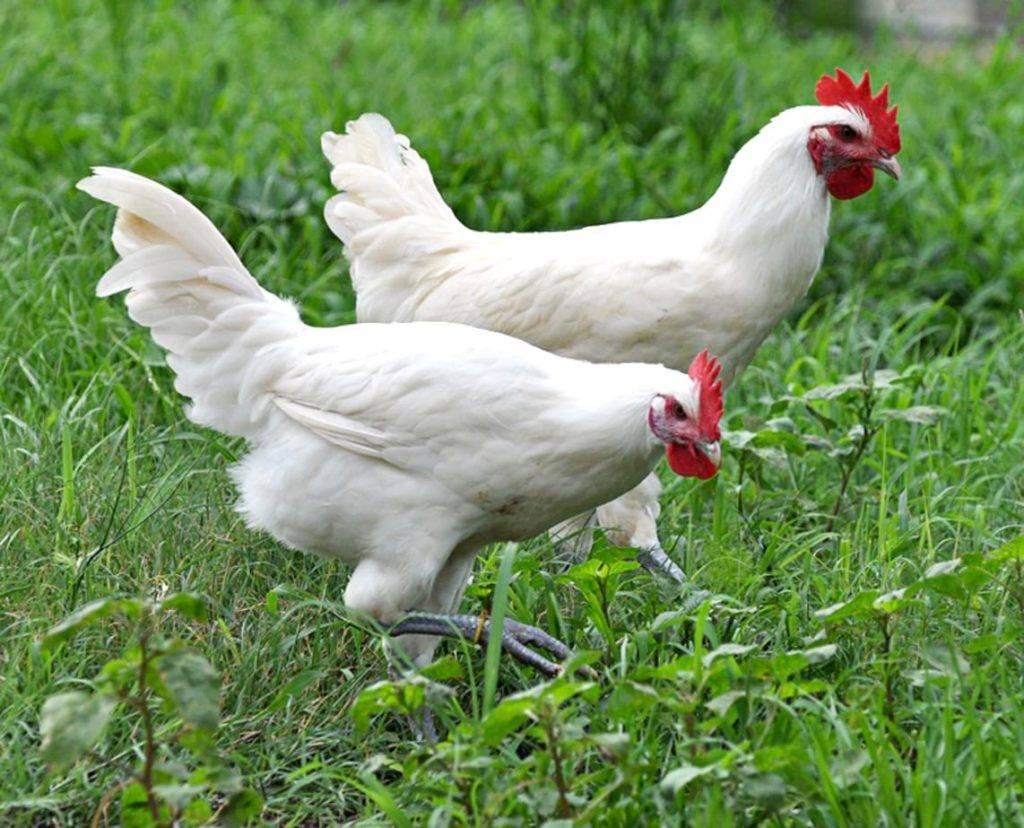 Курица человек