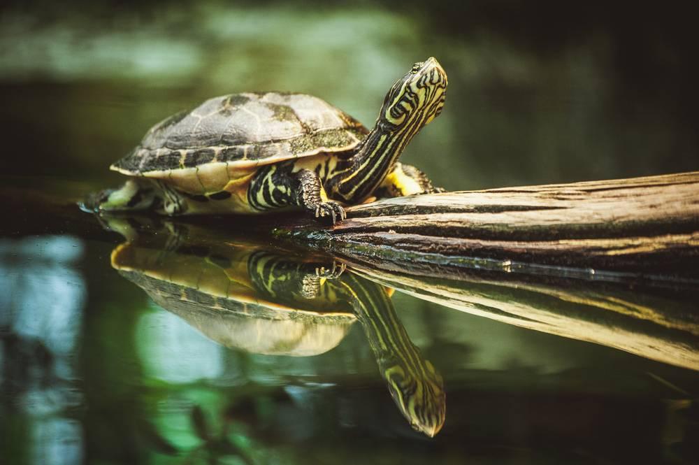 Виды красноухих черепах