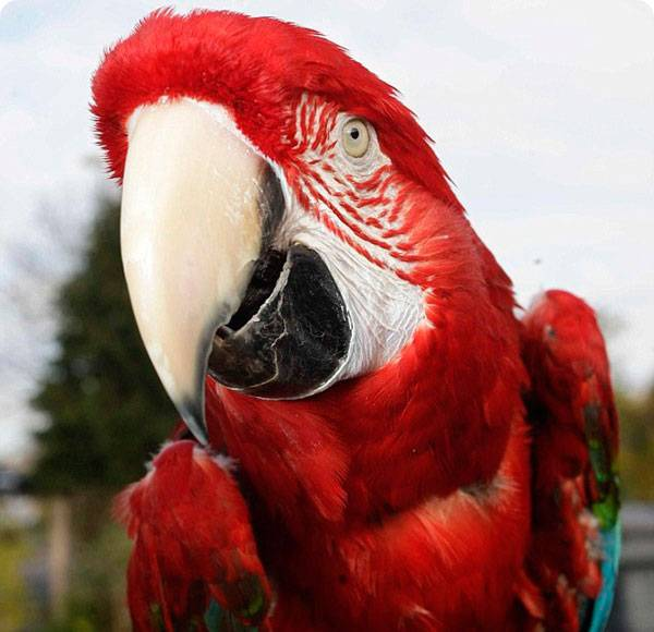 Сколько живут попугаи какаду